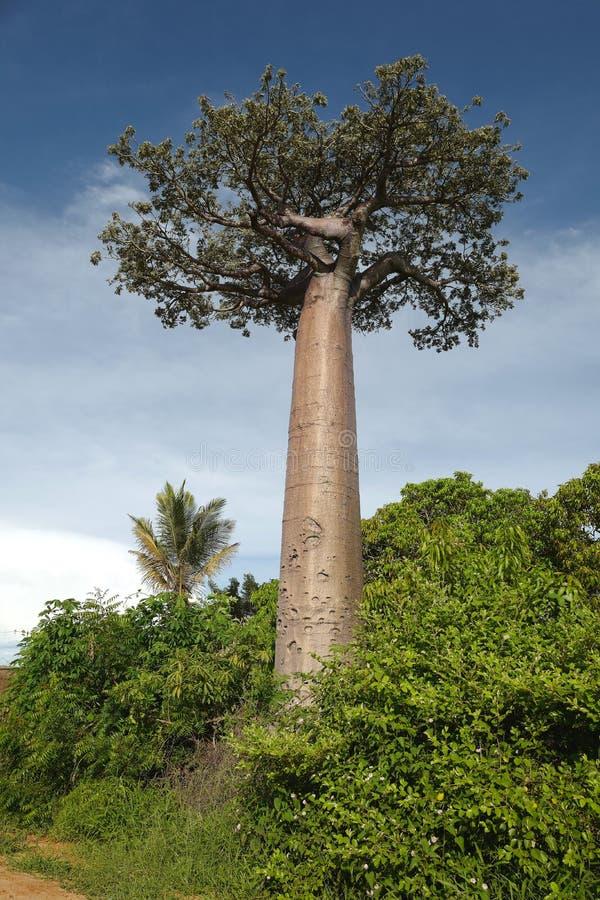 Árboles del baobab en Morondava, Madagascar imagen de archivo libre de regalías