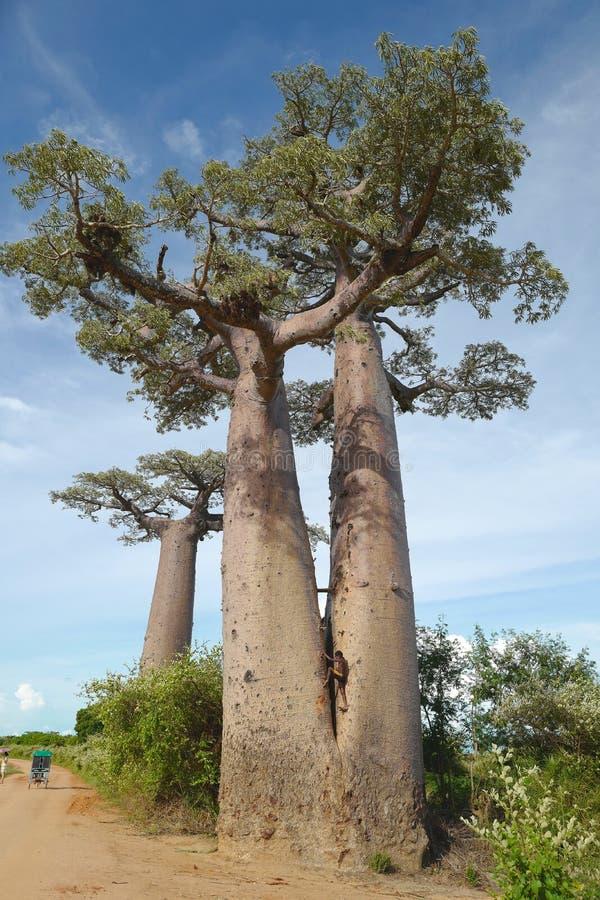 Árboles del baobab en Morondava, Madagascar fotos de archivo libres de regalías