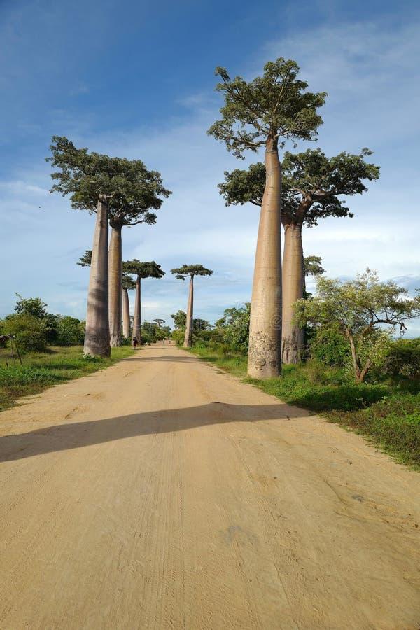 Árboles del baobab en Morondava, Madagascar imagen de archivo