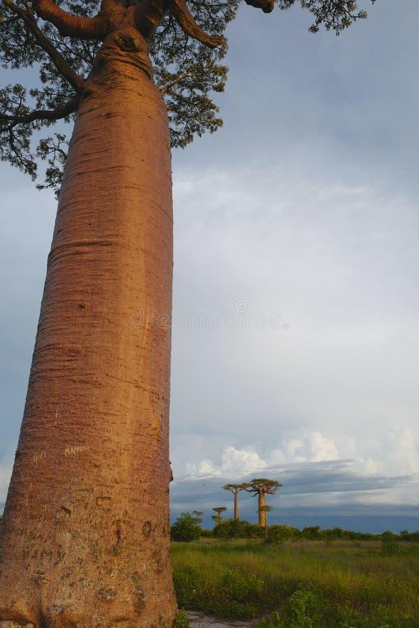 Árboles del baobab en Morondava, Madagascar fotografía de archivo libre de regalías