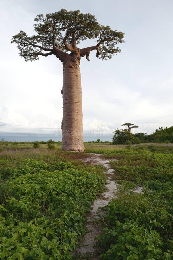 Árboles del baobab en Morondava, Madagascar foto de archivo libre de regalías