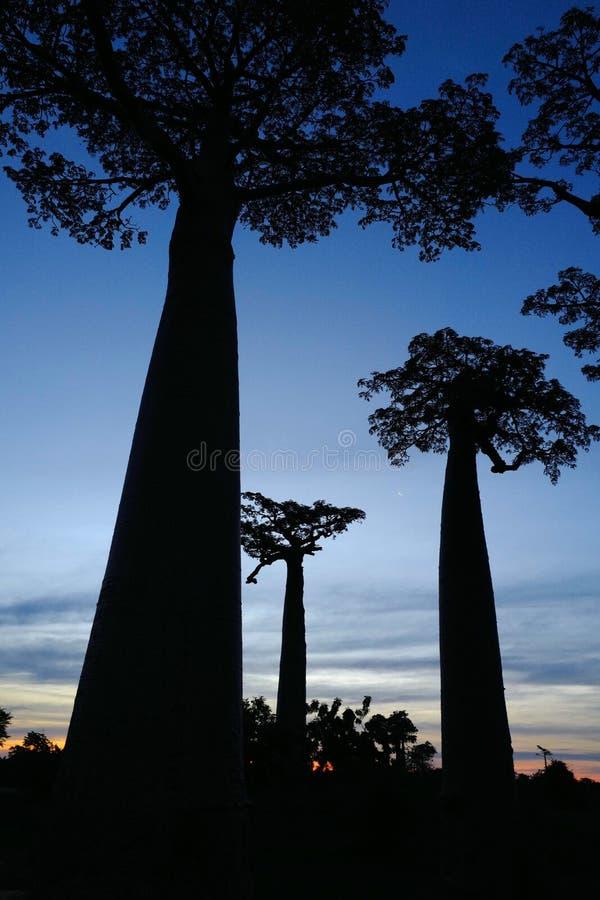 Árboles del baobab en Morondava, Madagascar imagenes de archivo