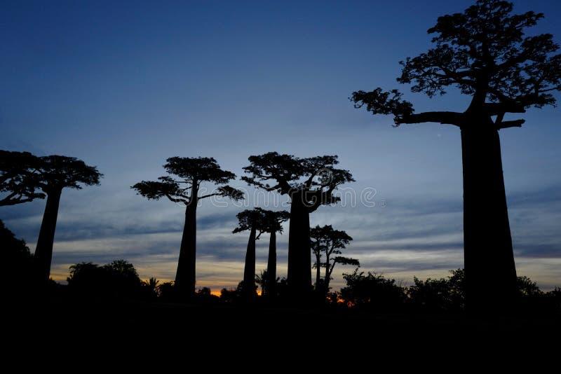 Árboles del baobab en Morondava, Madagascar fotografía de archivo