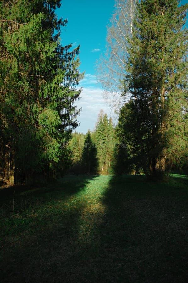 Árboles del claro del bosque de la primavera de la estación fotos de archivo