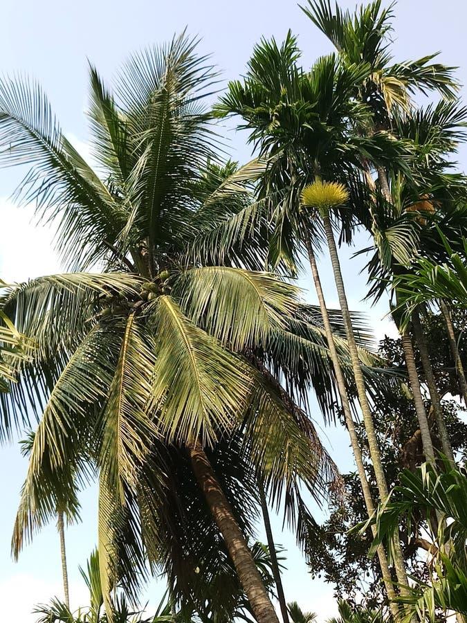 Árboles del coco y del bettlenut fotos de archivo libres de regalías