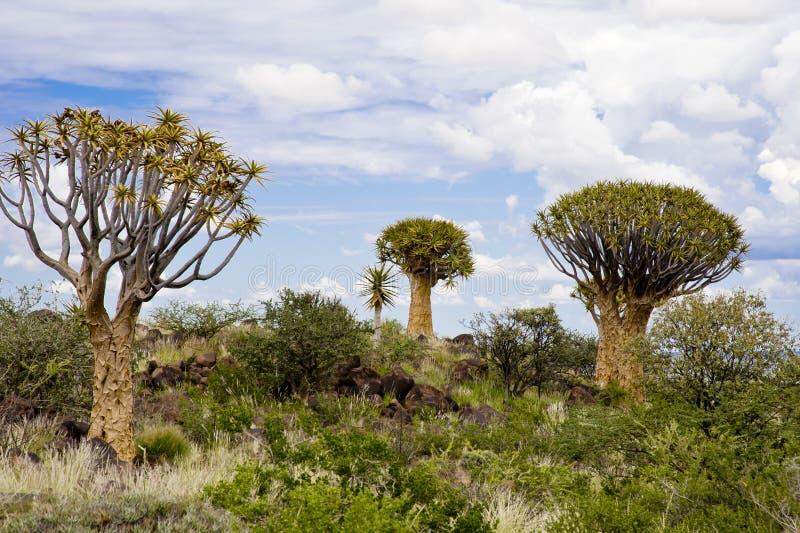 Árboles del estremecimiento en Namibia foto de archivo