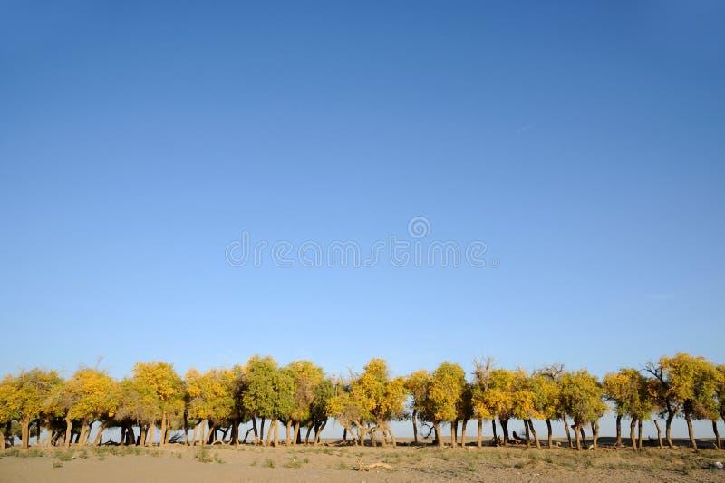 árboles del euphratica del populus imagen de archivo libre de regalías