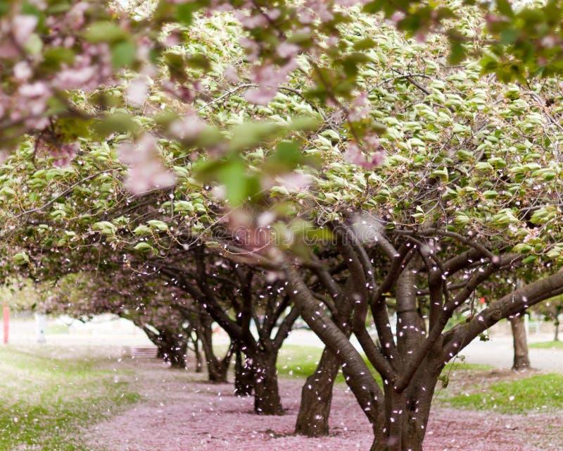 Árboles del flor de cereza imagenes de archivo