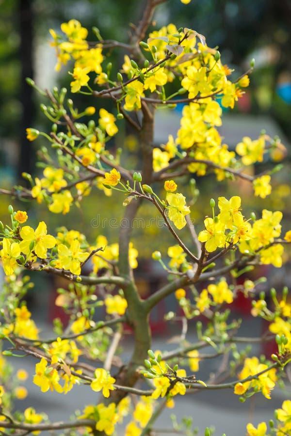 Árboles del flor de Tet los símbolos de los días de fiesta lunares del Año Nuevo fotografía de archivo