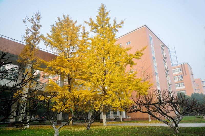 Árboles del Gingko por mañana del invierno fotos de archivo libres de regalías