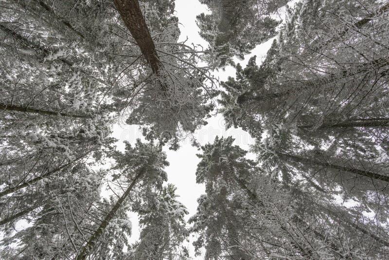 Árboles del invierno cubiertos con nieve fotografía de archivo libre de regalías