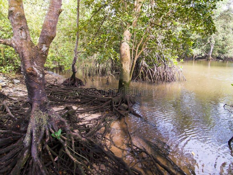 Árboles del mangle de los humedales imagenes de archivo