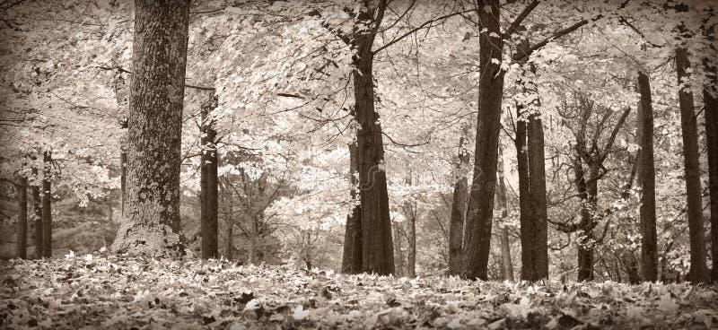 Árboles del otoño, blancos y negros fotos de archivo