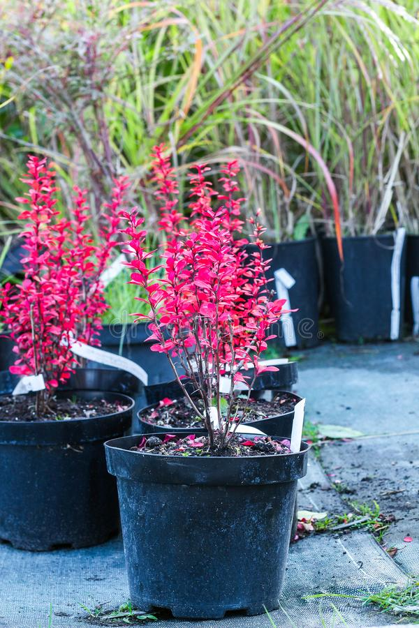 Árboles del Powwow del thunbergii del Berberis con las hojas rojas en potes fotos de archivo libres de regalías