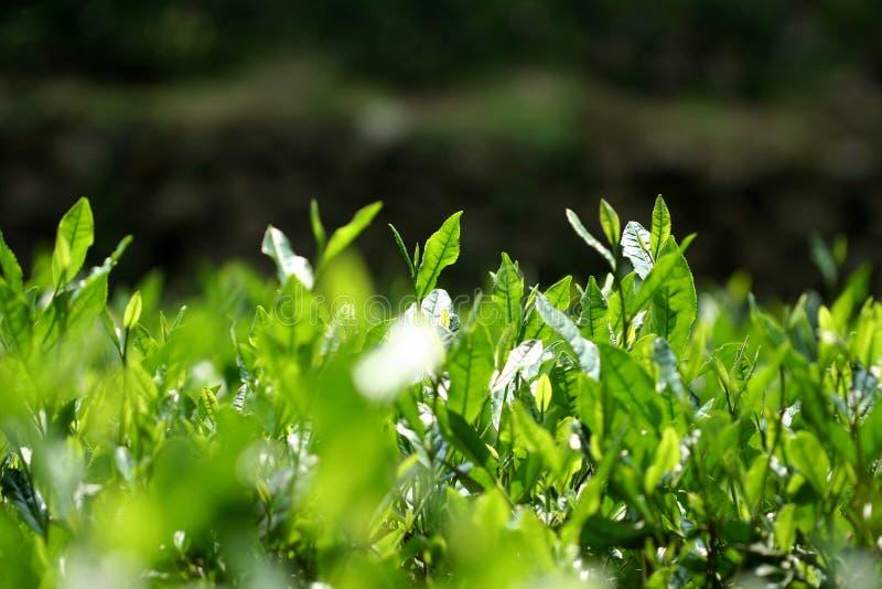 Árboles del té verde de Longjin imagen de archivo libre de regalías