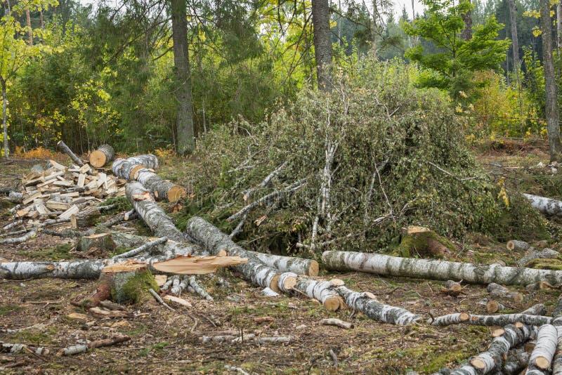 Árboles derribados en el bosque listo para el transporte Industri de la madera imagenes de archivo