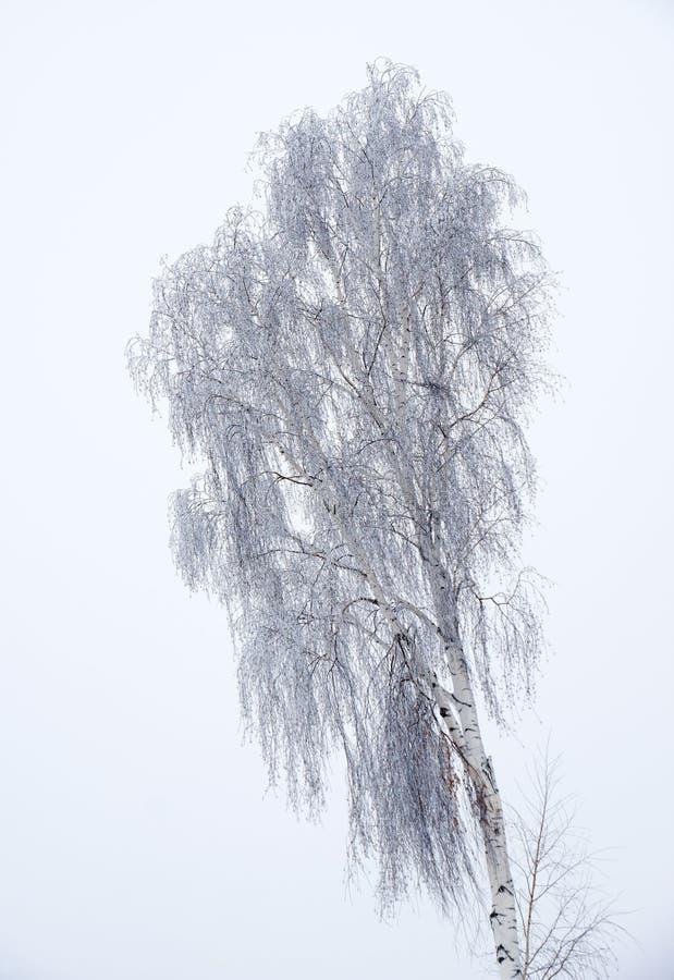 Árboles desnudos del invierno solitario del abedul sin las hojas debajo de la nieve imagenes de archivo