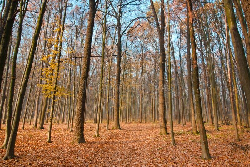 Árboles desnudos en el cielo azul claro de noviembre, el camino caido amarillo y anaranjado brillante de la cubierta de las hojas imagen de archivo libre de regalías