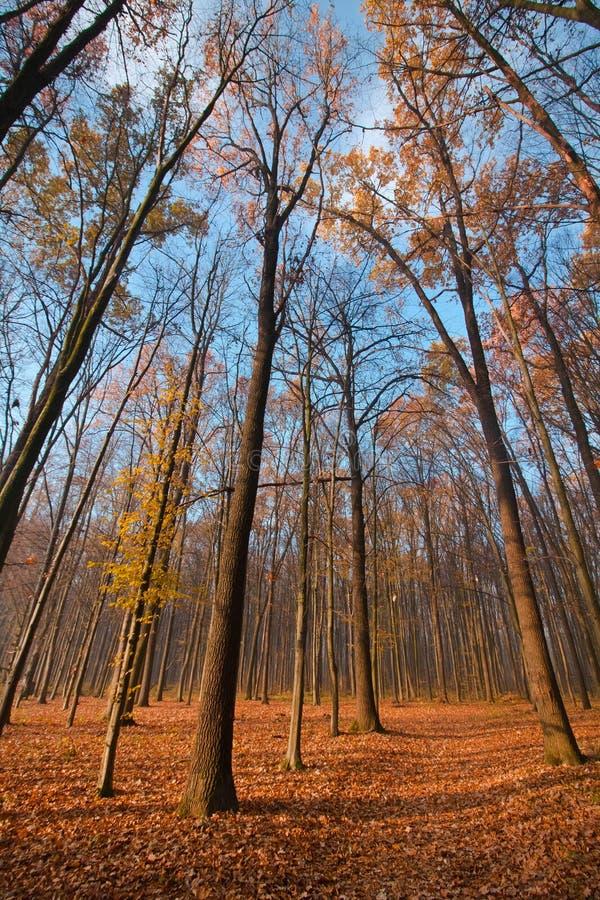 Árboles desnudos en el cielo azul claro de noviembre, el camino caido amarillo y anaranjado brillante en la tierra, sombras de la imagen de archivo