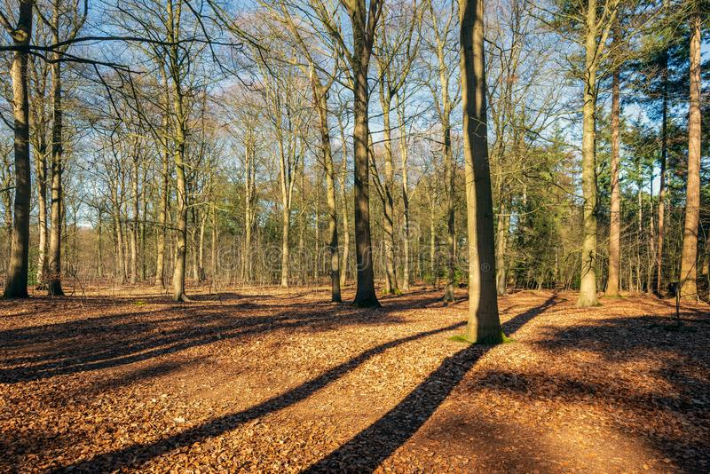 Árboles desnudos en un bosque soleado fotografía de archivo