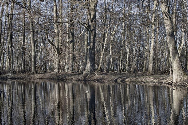 Árboles desnudos que reflejan en agua en la primavera imagen de archivo