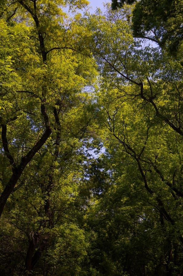 Árboles DF Ciudad de México del parque de Chapultepec imagen de archivo