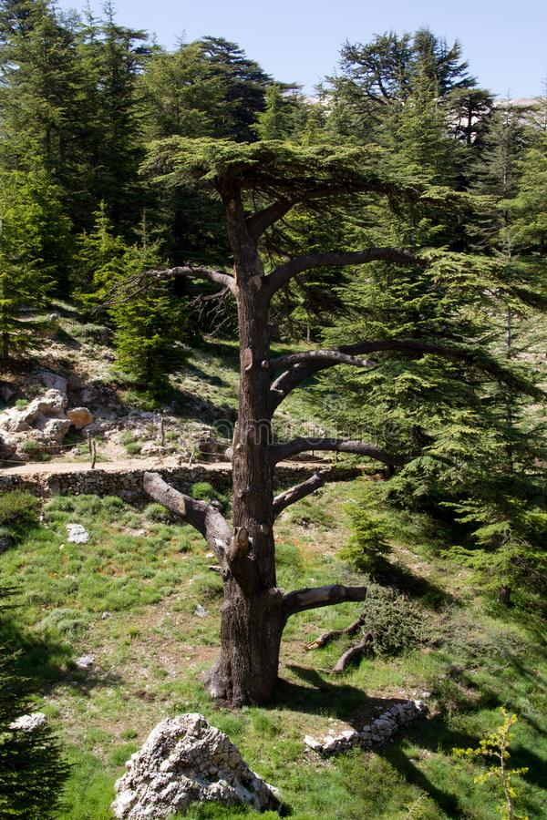árboles en bosque del arz en Líbano del norte foto de archivo libre de regalías