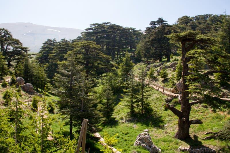 árboles en bosque del arz en Líbano del norte fotos de archivo