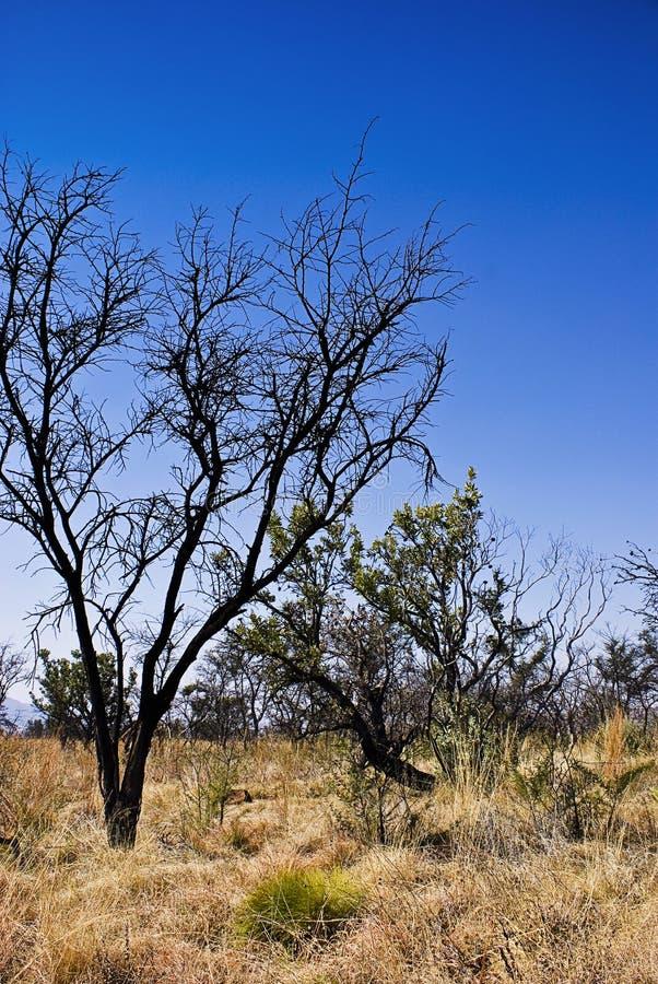 Árboles en Bushveld fotos de archivo libres de regalías