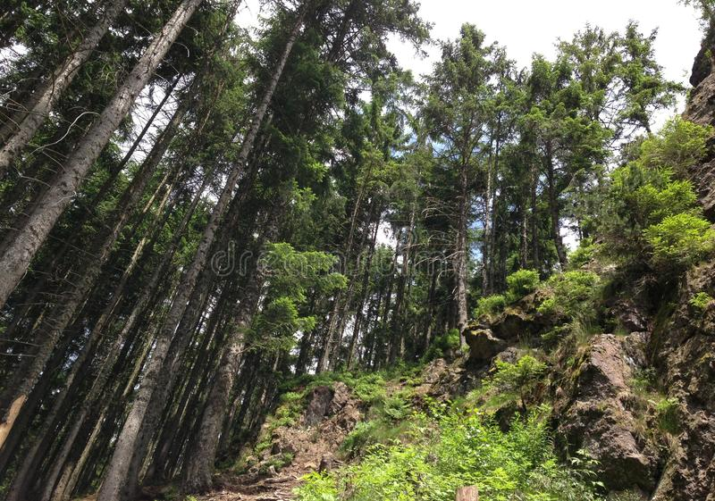 Árboles en el bosque negro, Alemania foto de archivo libre de regalías