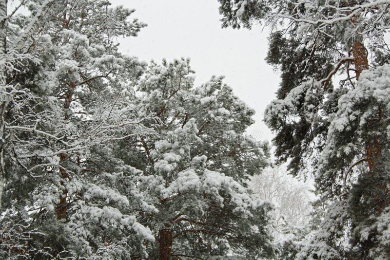 Árboles en la nieve foto de archivo