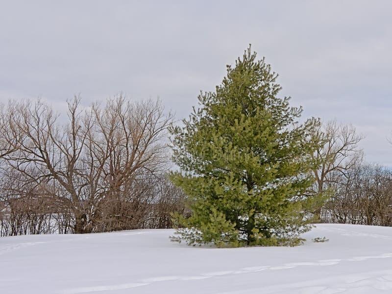 Árboles en la nieve a lo largo del rastro del invierno de Sjam, Canadá, Ottawa foto de archivo libre de regalías