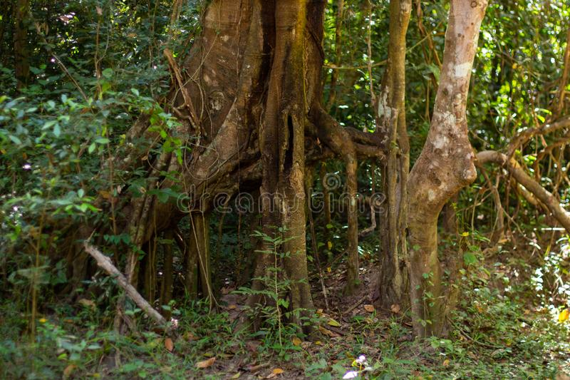 Árboles en la selva cerca de Angkor Wat en Camboya imagen de archivo libre de regalías