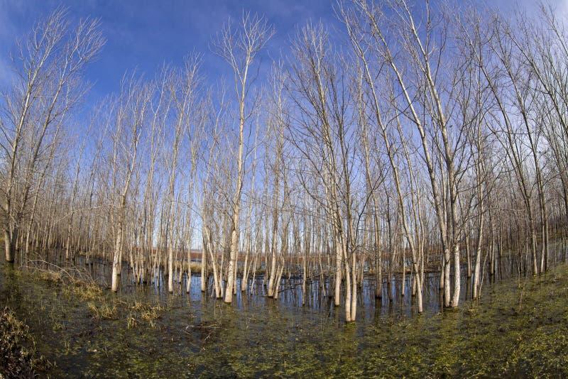 Árboles en pantano imagen de archivo libre de regalías