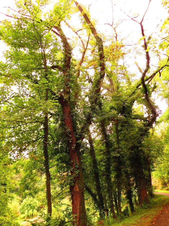Árboles entrelazados imagen de archivo libre de regalías