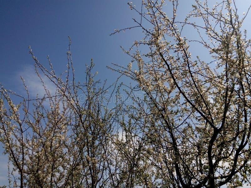 Árboles florecientes fotografía de archivo