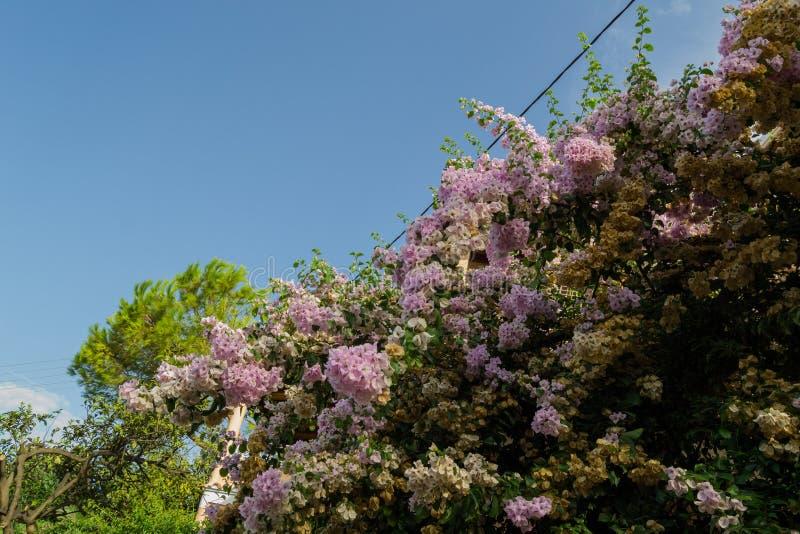 Árboles florecientes Corfú, Grecia imagenes de archivo