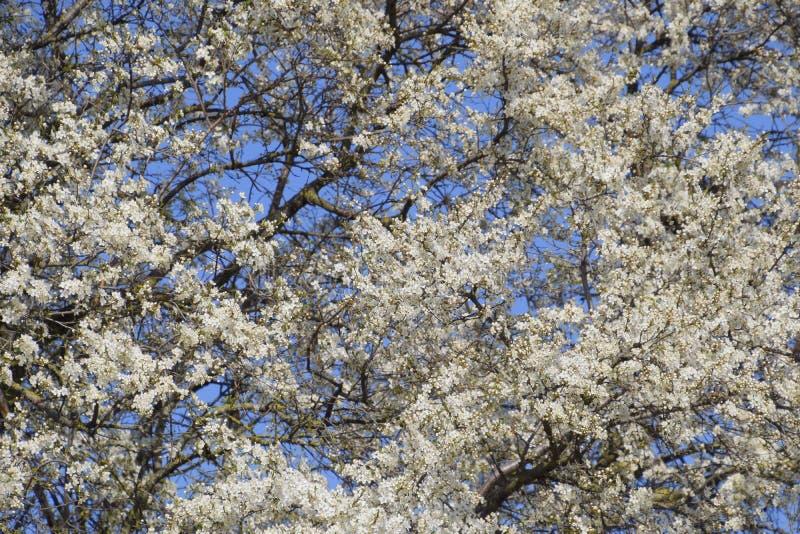 Árboles florecientes de la primavera Polinización de flores del ciruelo Ciruelo salvaje floreciente en el jardín fotografía de archivo libre de regalías