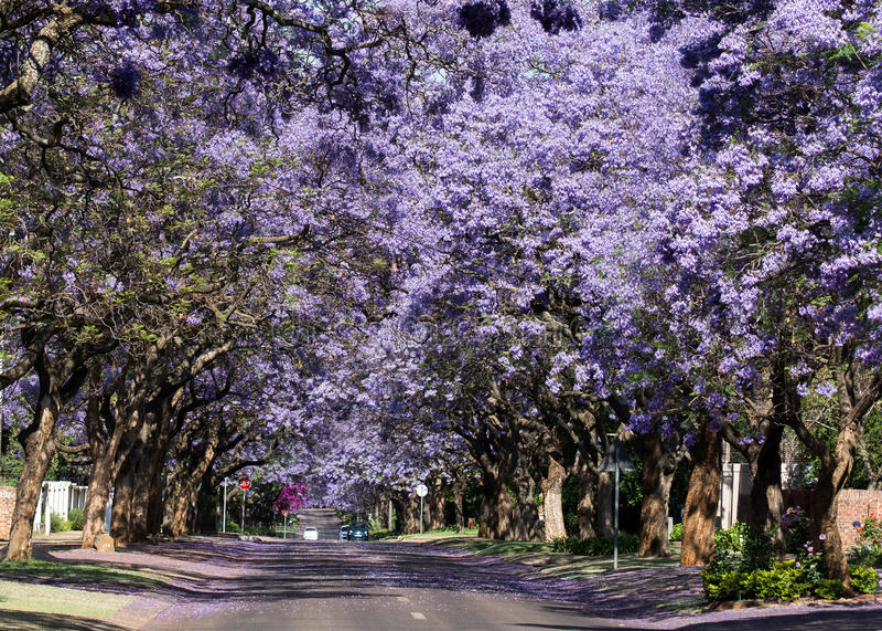 Árboles florecientes del Jacaranda fotos de archivo