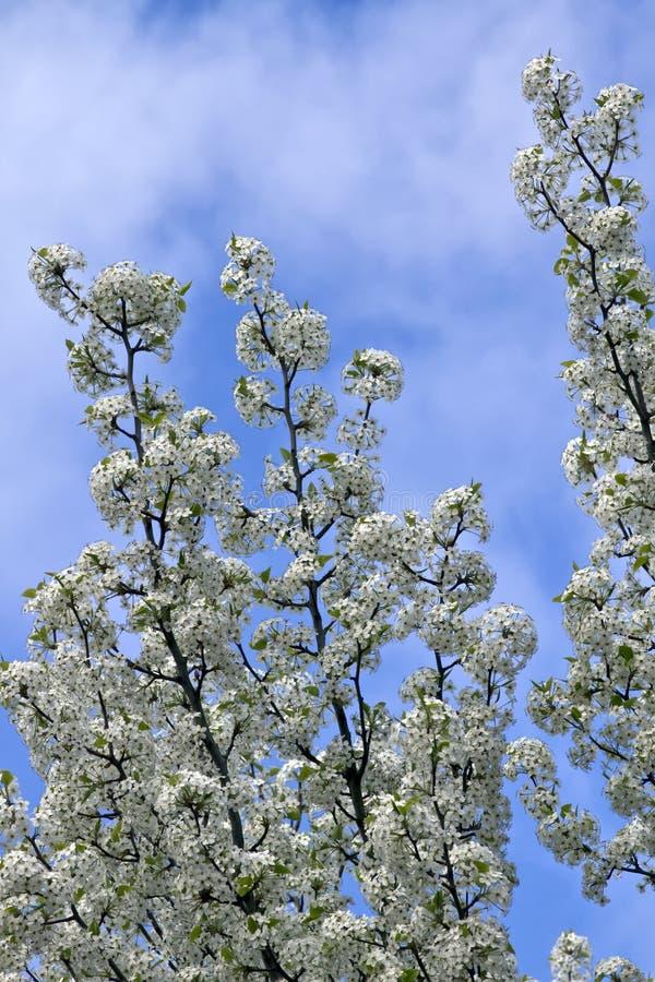 Árboles florecientes florecientes del tiempo de resorte fotografía de archivo