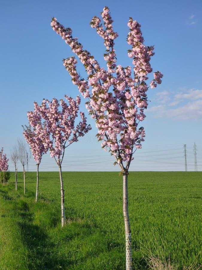 Árboles florecientes rosados a lo largo de un camino imagen de archivo libre de regalías