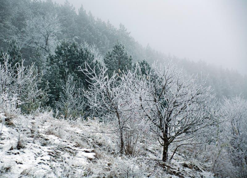 Árboles forestales congelados del pino con helada el mañana del invierno en niebla fotografía de archivo