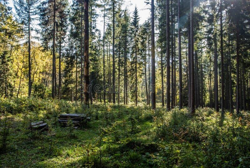 Árboles forestales del otoño Fondos de madera verdes de la luz del sol de la naturaleza fotos de archivo libres de regalías