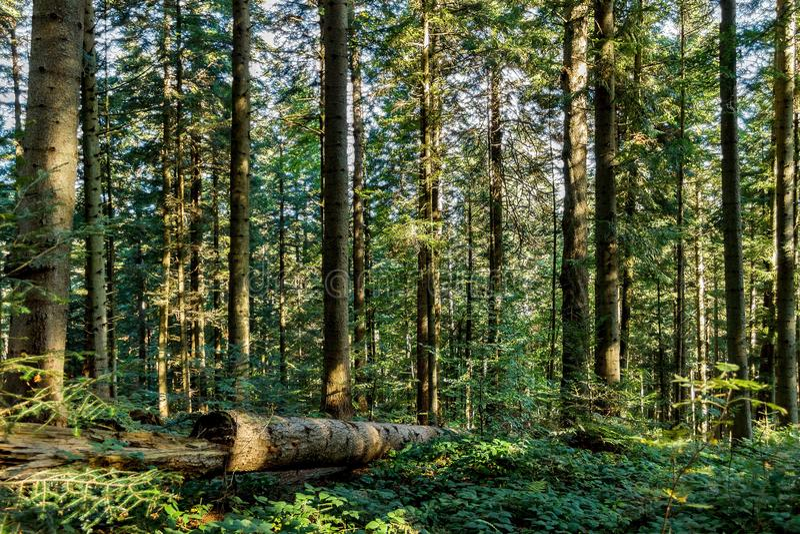 Árboles forestales del otoño Fondos de madera verdes de la luz del sol de la naturaleza imagenes de archivo