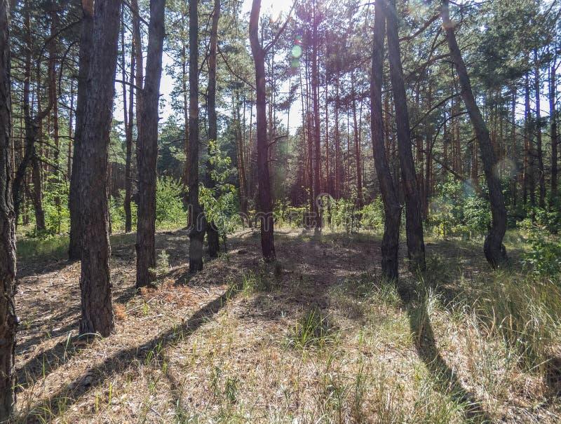 Árboles forestales del otoño Fondos de madera verdes de la luz del sol de la naturaleza imagen de archivo libre de regalías