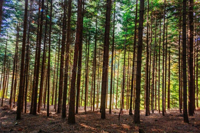 Árboles forestales densos fotografía de archivo