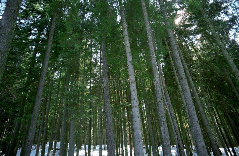 Árboles forestales en invierno imagen de archivo