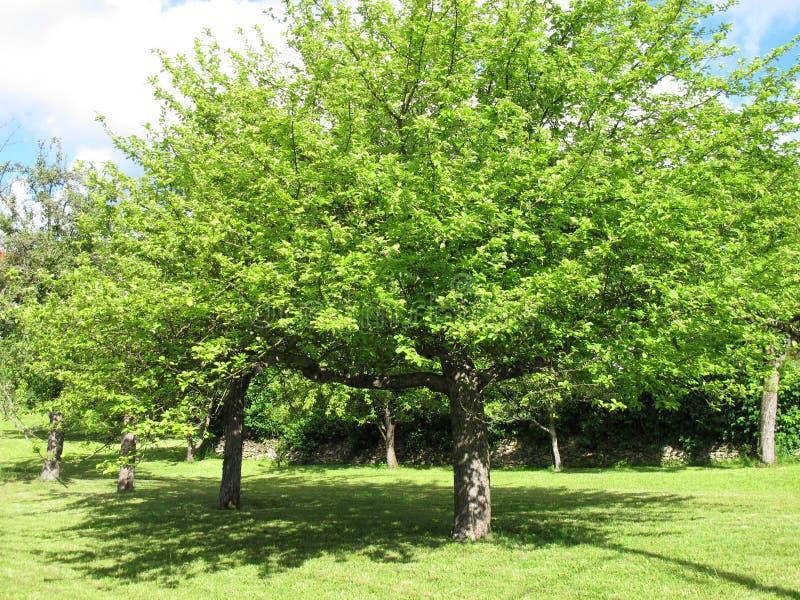 Árboles frutales en un prado imagen de archivo