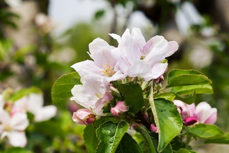 Árboles frutales florecientes fotografía de archivo libre de regalías