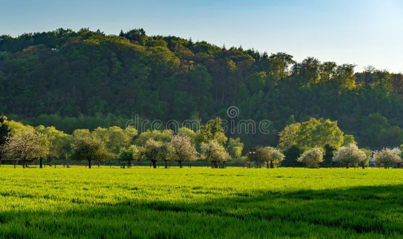 Árboles frutales florecientes blancos en el prado verde en la luz de igualación, bosque en el fondo, campo verde en primero plano fotografía de archivo